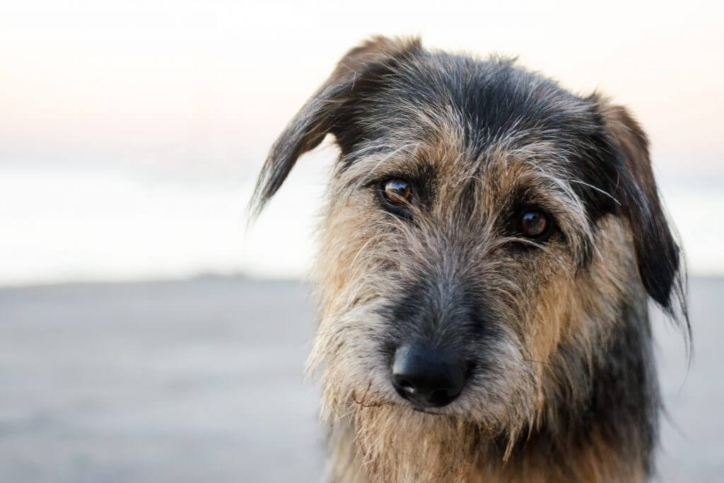 How to get rid of fleas - picture of dog