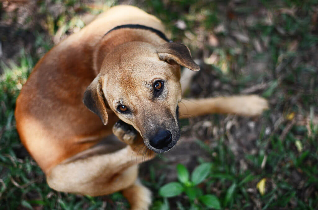 natural flea and tick remedies: do they work? dog scratching